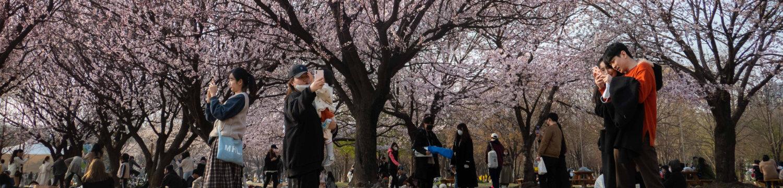 [Reportage photo] Corée du Sud : à l'ombre des cerisiers, un printemps en demi-teinte